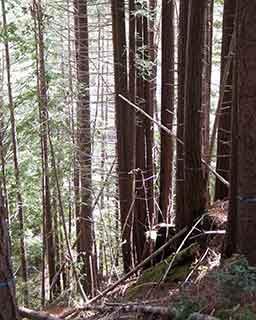 RedwoodForest-John-Birchard